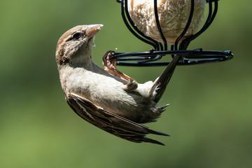 Sparrow on a feeder 13