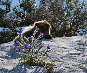 Flower blooming on the Rock of Gibraltar with monkey in sunlight