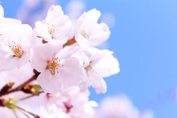 Foto op Canvas Kersenbloesem 桜の花 ソメイヨシノ