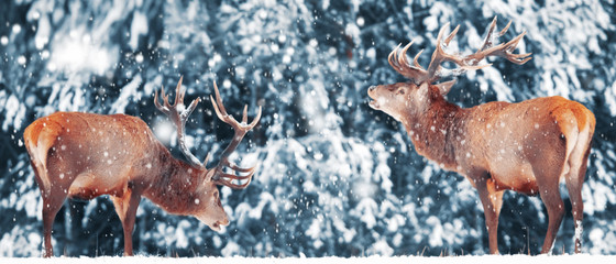 Wall Mural - Two noble deer male against in winter snow forest. Artistic winter landscape. Christmas image. Winter wonderland.