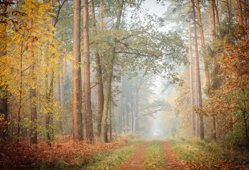 A foggy, moody view of a deciduous forest with leaves changing colors to golden and forest path covered with fallen leaves, tall straight tree trunks on both sides of the path