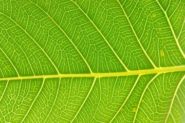 A fresh green leaf with detailed vein structure
