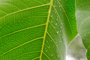 A fresh green leaf with water bubbles in close up with detailed vein structure