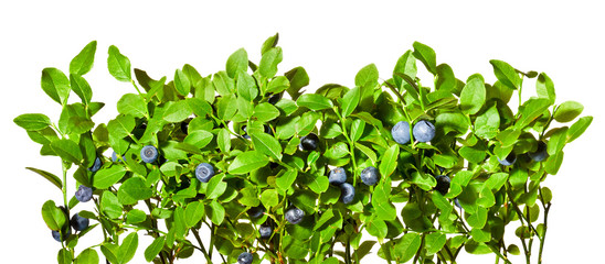 Blueberry bush with ripe fruits on a white background.