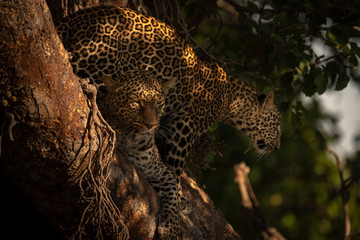 Cub stands behind leopard lying in tree Wall mural