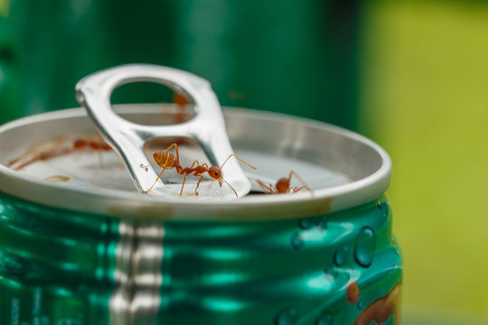 Ants for food on cans drink water, macro
