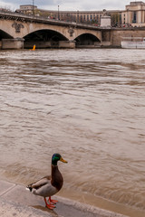Beautiful duck on the Seine River at the alert level, with the Trocadero in the background, Paris, France
