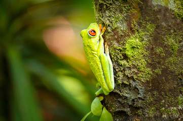 Red eye tree frog hanging from a tree in the jungle of Costa Rica
