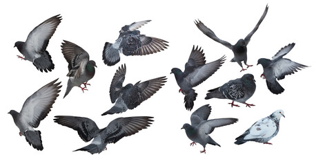 twelve isolated on white dark grey pigeons Wall mural