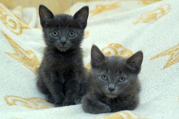 two little gray kittens