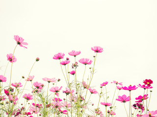 Wall Mural - Pink cosmos flower on vintage pastel background