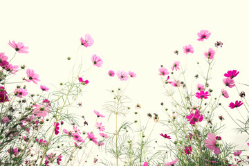 Fototapete - Pink cosmos flower on vintage pastel background