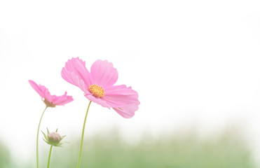 Wall Mural - Soft focus cosmos flower on vintage pastel background