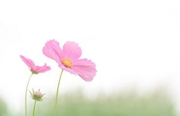 Fototapete - Soft focus cosmos flower on vintage pastel background