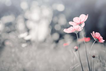 Fototapete - Vintage color cosmos flower in the field.