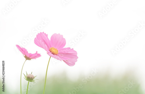 Wall mural Soft focus cosmos flower on vintage pastel background
