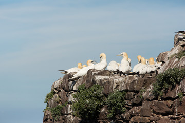 Northern Gannet (Morus bassanus) calling at nesting at breeding colony, bass rock, United Kingdom