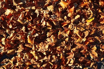 Close up high resolution surface of autumn leaves on the ground