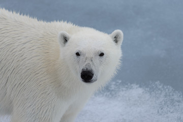 Polar bear's (Ursus maritimus) head close up