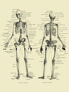 Vintage illustration of anatomy, human complete bone skeletal structure front and back with Italian anatomical descriptions