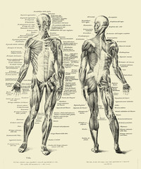 Vintage illustration of anatomy, human complete muscular structure front and back with Italian anatomical descriptions