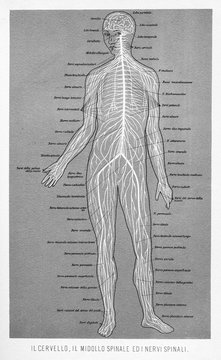 Vintage illustration of anatomy, human brain, spinal cord and spinal nerves  with Italian anatomical descriptions