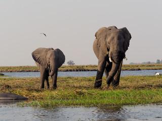 Elephant family, Chobe River