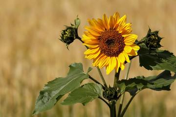 Yellow Sunflower in the summer in Lund Sweden