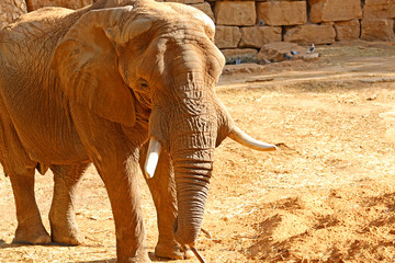 Elephant is big with big ears, wrinkles all over the body