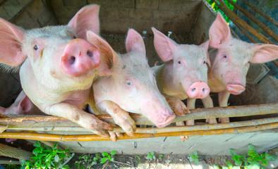 Pigs raised in rural livestock pens