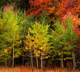 Autumn Aspen Trees Fall Colors Golden Leaves and White Trunk Maple Red