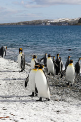 King penguins on the beach of Salisbury Plain on South Georgia in the Antarctic