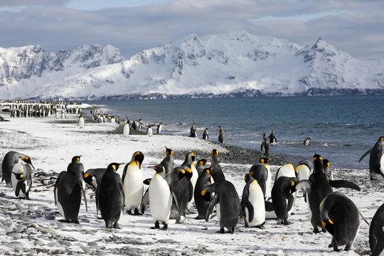 King penguins on the beach of Salisbury Plain on South Georgia in the Antarctic