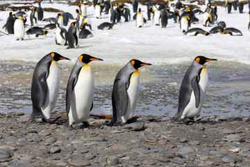 Four king penguins walk in a row on Salisbury Plain on South Georgia in the Antarctic