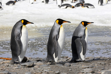 Three king penguins walk in a row on Salisbury Plain on South Georgia in the Antarctic