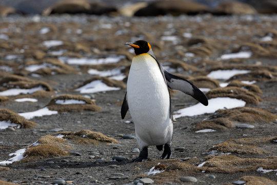 King Penguin runs on the beach on Salisbury Plain on South Georgia in the Antarctic