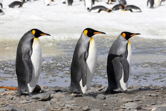 Three king penguins walk in a row on Salisbury Plain on South Georgia in the Antarctic