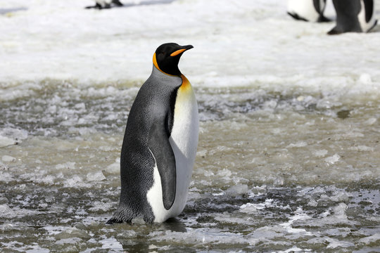 A king penguin stands in slush on Salisbury Plain on South Georgia in the Antarctic