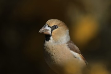 Portrait of a hawfinch. (Coccothraustes coccothraustes) Wildlife scene from nature.