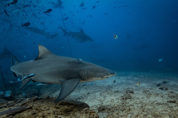 Shark feeding underwater background