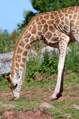 Portrait of a Rothschilds giraffe (Giraffa camelopardalis rothschildi) grazing