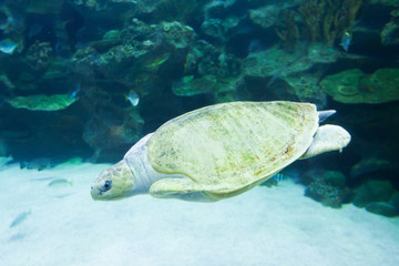 Sea turtle swims in blue sea