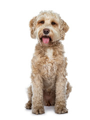 Sweet female adult golden Labradoodle dog sitting up with tongue out of mouth, looking at camera with brown eyes. Isolated on a white background.