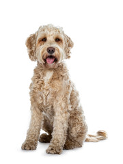 Sweet female adult golden Labradoodle dog sitting with open mouth and tongue out, looking at camera with brown eyes. Isolated on a white background.