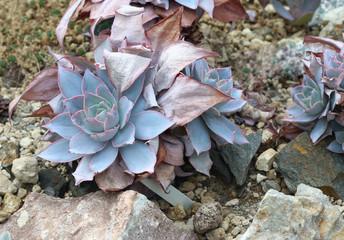 Echeveria cante - succulent
