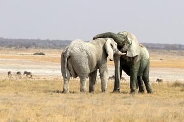 Elephants Fight - Namibia