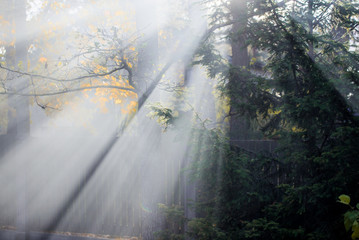 Autumn landscape. Morning fog in the forest. Sun rays, golden leaves and branches of pine trees, close-up. Germany