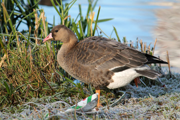 Young Greater white-fronted goose or Anser albifrons