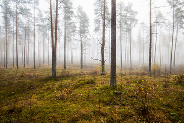 An autumn forest landscape. Morning fog in the pine tree forest on a cloudy day, green and golden leaves, Latvia