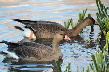 Pair of Young Greater white-fronted geese or Anser albifrons afloat